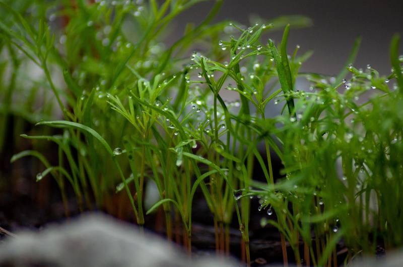 Uprawa kopru - w gruncie, pod osłonami, a może w doniczkach?