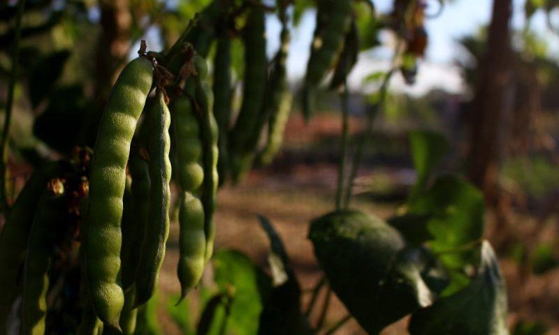 Coraz bardziej doceniane rośliny strączkowe
